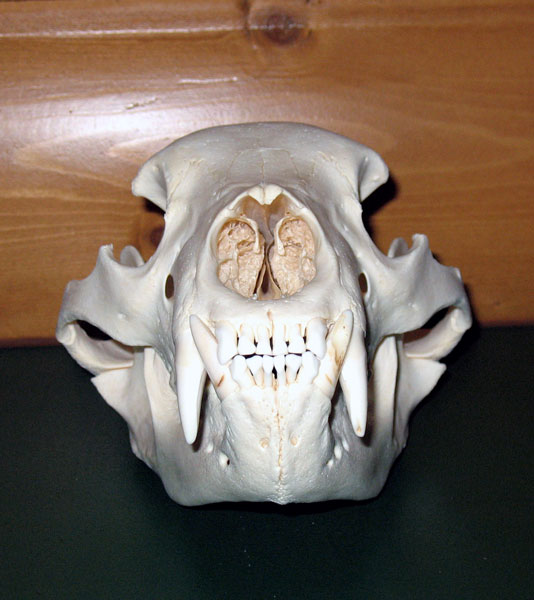 Northern Illinois Skull Cleaning Amp Tanning Wholesale Beetle Skull Cleaning